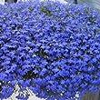 Trailing Blue Lobelia Plants. 24 Garden Ready Plants