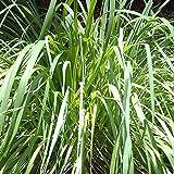 Vivai Le Georgiche Citronella Lemongrass (Cymbopogon Citratus)
