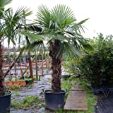 Trachycarpus fortuneii / Chusan Palm : 65L Pot : 225-250cm High (exc pot)