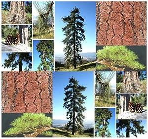 BULL BLACKJACK Pine Tree Seed - BONSAI TREE Ponderosa Pine - Pinus ponderosa Tree Seeds - DISTINCTIVE ORANGE BARK - Zones 3 - 7 (0500 Seeds - 500 Seeds)