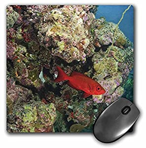 Danita Delimont - Fish - Glasseye fish, coral reef, Palau, Micronesia - OC16 SWS0049 - Stuart Westmorland - MousePad (mp_85184_1)