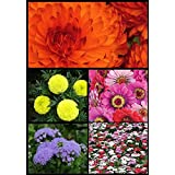 Divya Seeds !! FLOWER SEEDS COMBO OF 5 IN 1 - VINCA + ZINNIA + MARIGOLD DOUBLE ORANGE + MARIGOLD SIERRA YELLOW...