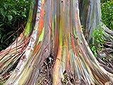 ★ ★ ★ Regenbogen Eukalyptus 30 Samen ★ ★ ★
