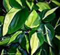 Brazil Philodendron 6
