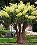 Seedeo Flaschenbaumlilie - Elefantenfuß - 10 Samen