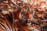 Bengal Tiger in Bandhavgarh National Park, India by Dee Ann Pederson / Danita Delimont Art Print, 30 x 20 inches