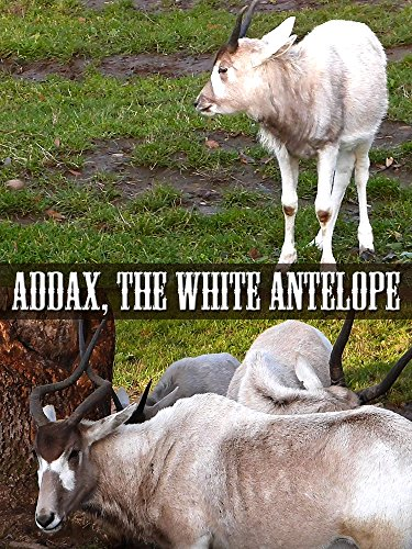 Addax, the White Antelope