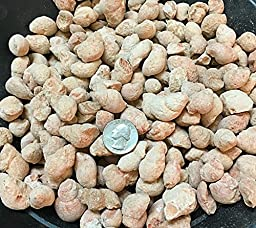 1 Pound of Fossilized Gastropods - Bulk Fossils by GoldNuggetMiner