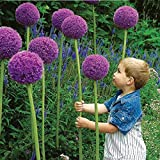 25pcs Allium Giganteum Seeds Purple Plant DIY Home Garden