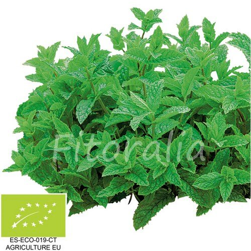 menta-hierba-buena-ecologica-maceta-105-cm-fitoralia