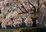 【A3サイズミニポスター】 夕光の桜 POSA3-005 (42.0×29.7cm)