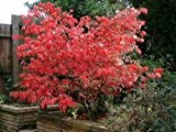 Euonymus alatus 'Compactus' (Dwarf winged spindle or burning bush) 15 ltr pot
