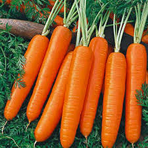 Carrots, Scarlet Nantes Carrot Seeds, Organic, NON-GMO, 25+ seeds per package,A classic among carrots, Scarlet Nantes has that old-time carrot flavor. (Juicing Package compare prices)