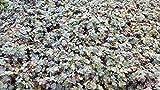 Stachelnüßchen, Acaena buchananii im 9cm Topf