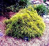 Golden Mop False Cypress -Chamaecyparis- Outside/Bonsai