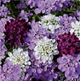 Just Seed- Flower - Candytuft - Iberis Candy Cane Mix - 50 Seeds