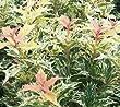 Goshiki Variegated Tea Olive (Osmanthus Heterophyllus) - Live Plant - Quart Pot