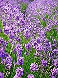 Vera Lavender - 100 Seeds, 200 mg - Perennial