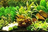 """Zoomeister - Aquarium-Pflanzen-Set """"Sorgenfrei"""" Einfach+Schön+Gut"""