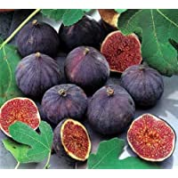 Petite Nigra Fig Plant - Ficus - Indoor or Out - 4
