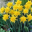 """ Rip Van Winkle "" Narcissi / Daffodil - Spring Flowering Bulbs - Available From £9.45, In packs of 25, 50 & 100 - FREE UK P & P (50)"