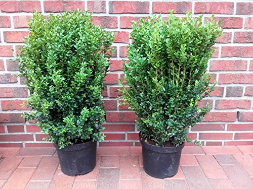 2 buchsbaum riesen h he 80 90 cm buxus sempervirens pflanzen im topf. Black Bedroom Furniture Sets. Home Design Ideas