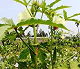 LADIES FINGER OKRA SEEDS