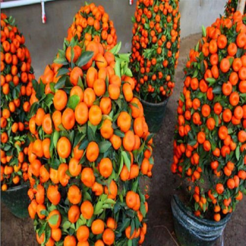 mandarin-orange-dwarf-seeds-indoors-outdoors-fruit-tree-30pcs