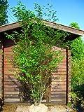 エゴノキ 白花 樹高3.0m前後 株立ち!!シンボルツリーに最適です♪【木曜日発送】