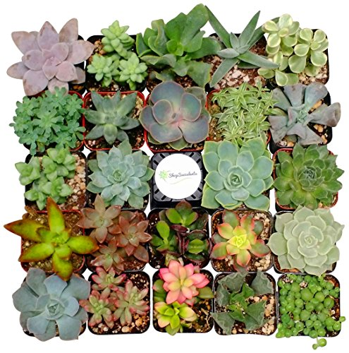 Shop Succulents Assorted Succulent (Collection of 4), 4