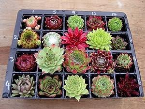 Sempervivum Plants A Collection of 20 different varieties