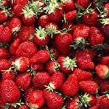 20 Quinault Everbearing Strawberry Plants Organic Non-GMO Shipped As Bare Root Crowns - Sweet Strawberries All Summer
