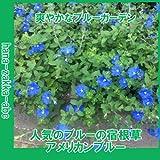 【吊り鉢に最適!】アメリカンブルー3号苗・2株セット