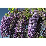 Attractive Black Dragon Wisteria Vine Plant Potted Plant 8-12