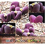 50+ LITHOPS OPTICA Species Mix Seeds - Cactus Mix - House Plants cactus cacti succulent For Greenhouse and Outdoor Too - These seeds are VERY small, each pack of seed will contain more than advertised. But if you are uncomfortable working with VERY small seeds please do NOT purchase this product