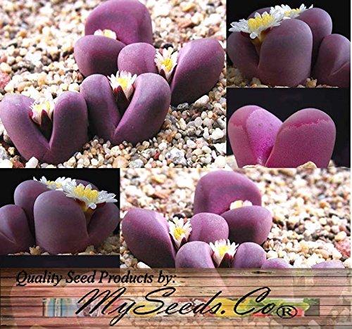 50-lithops-optica-species-mix-seeds-cactus-mix-house-plants-cactus-cacti-succulent-for-greenhouse-an