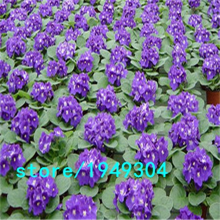 200-pcs-bagafrican-violet-seedssaintpaulia-ionantha-wendl-flower-seed-variety-complete-the-budding-r