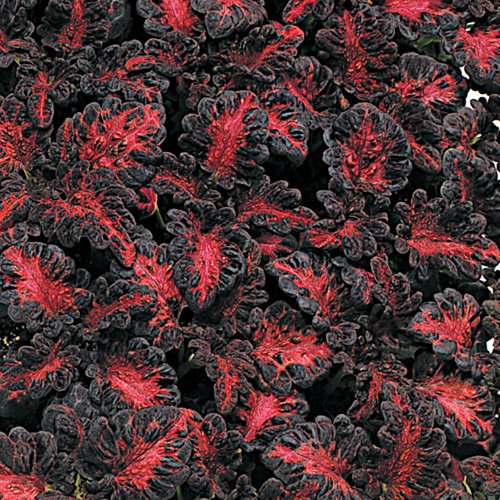 40 Black Dragon Coleus Seeds By Seed Needs