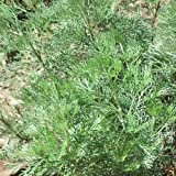 1000 WORMWOOD ABSINTHE SEEDS Artemisia Absinthium MOSQUITO Pests Deer Repellent