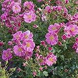 Rose Bienenweide Rosa - Rosa Bienenweide Rosa Bienenweiderose im Container