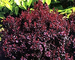 Concorde Barberry - Berberis - Top Seller /Also Bonsai - 4\