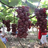 Sellify Generic Fruit Tree Vegetable Grape Seed Kyoho Red Mention Beauty Refers To Grape Seed 50seeds