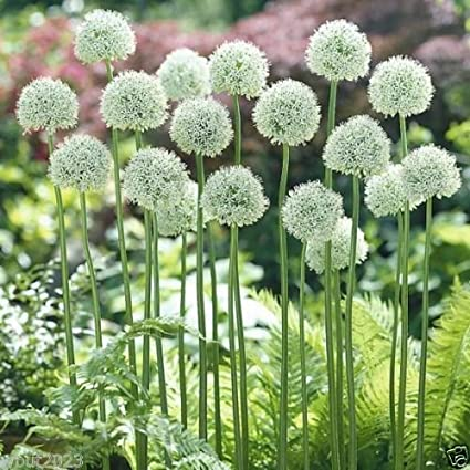 "10 Allium Bulbs - ""Mount Everest"" Snow White - Perennials Bulbs , Now Shipping !"