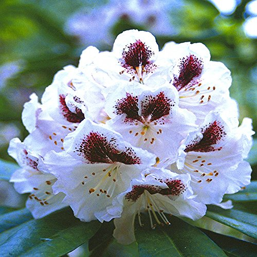 rhododendron-sappho-1-shrub
