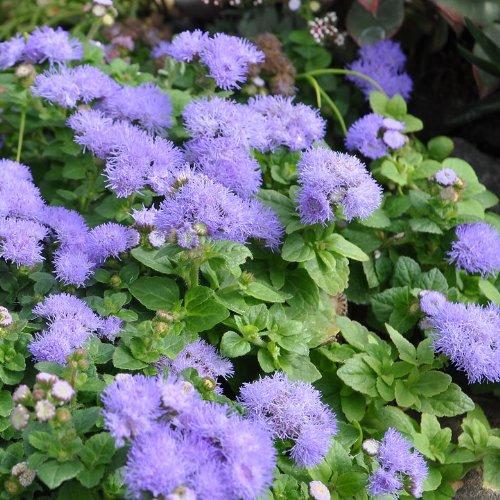 Ageratum, Hawaii Blue, Floss Flower