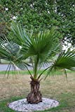 Seltene Jungpalme Palme Brahea edulis ca. 60-80 cm. Höhe Frostharte