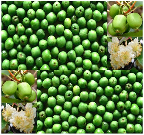 50 X Hardy Kiwi Actinidia Arguta Seeds - Fruit Contains Up To 5 Times The Vitamin C Content Of Blackcurrants - Very Cold Hardy To Zone 4 - By Myseeds.Co