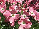 Cornus florida rubra - Flowering Dogwood - 7 Litre Pot