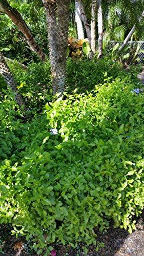 Blue Plumbago Live Plant Large 3 Gallon Size
