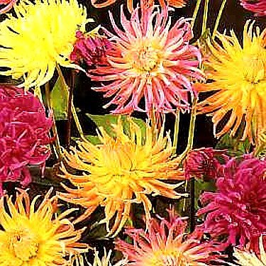 Buy Dahlia Cactus Hybrid 50 Seeds – Colorful! – FREE SHIPPING ON ADDITIONAL SEEDS